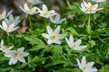 Weiß blühendes Buschwindröschen (Anemone nemorosa)