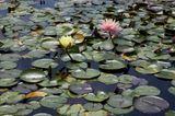 Teich mit Seerosengewächsen