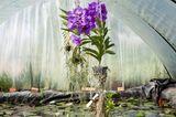 Orchideengattung Vanda zum Trocknen aufgehängt
