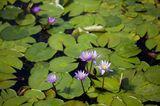 Lila Seerosen im Teich