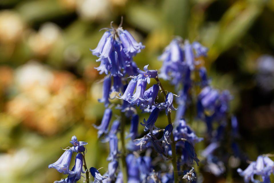 Wald-Glockenblume, Campanula latifolia var. macrantha