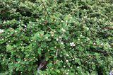 Teppich-Zwergmispel (Cotoneaster dammeri)