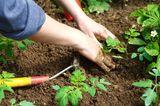 Schmutzige Frauenhände, die neue Pflanzen in Gartenerde setzen