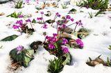 Vorfrühlings-Alpenveilchen Cyclamen coum
