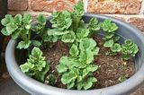 Kartoffelpflanzen im Topf