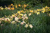 Taglilien-Garten
