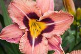 Namenloser Sämling einer Taglilie