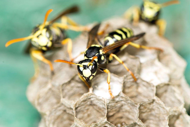 Wespennest entfernen: Wespen auf Waben