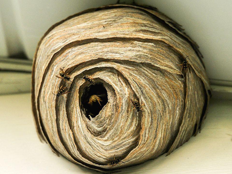 Wespennest entfernen: Nest unterm Dach