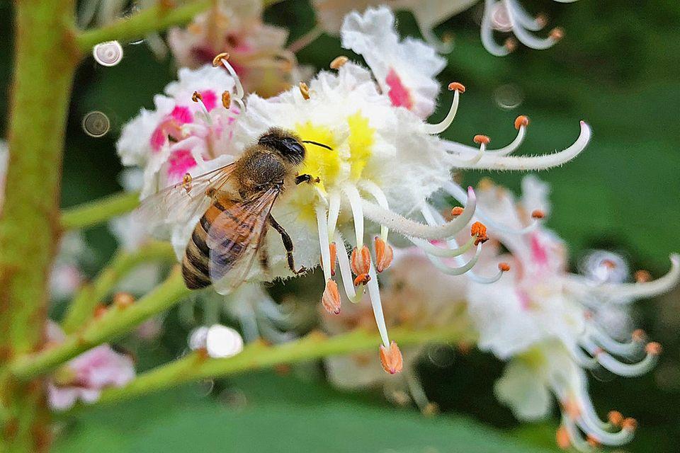 Biene auf Kastanienblüte