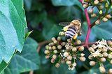Biene auf Wildem Wein