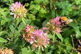 Hummel auf Klee (Trifolium)