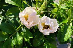 Wildrose mit Hummel