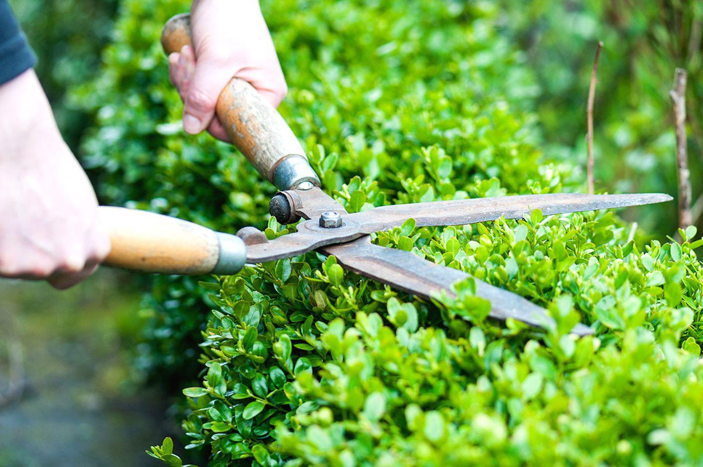 Gartenarbeit: Hecke schneiden