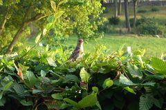 Hecke schneiden: zum Vogelschutz auf Nester achten
