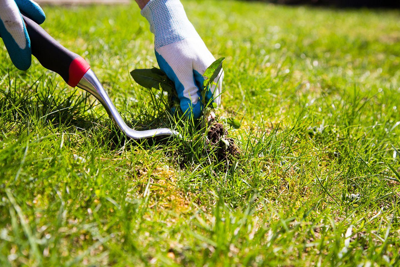 Unkraut im Rasen entfernen