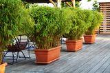 Bambus (Fargesia, Phyllostachys, Pseudosasa, Pleioblastus, Chusquea, Pseudosasa, Sasa, Indokalamus)