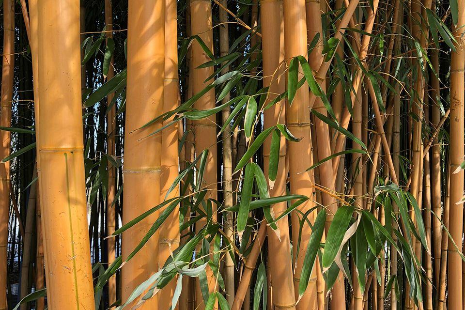 Goldener Peking Bambus (Phyllostachys aureosulcata 'Aureocaulis')
