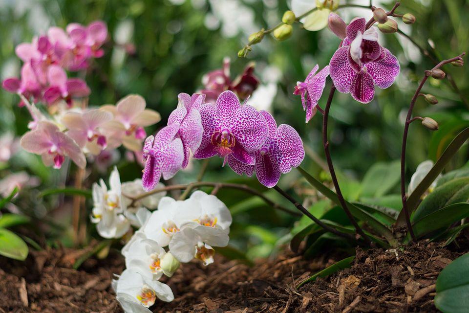 Orchidee Steckbrief