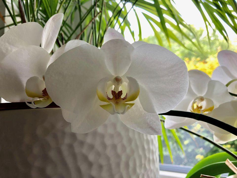 Orchidee Weiße Phalaenopsis