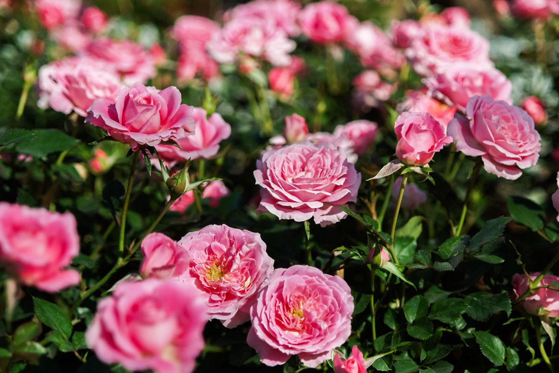Rose Beetrose