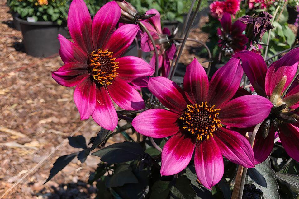 Dahlia x hortensis Lubega Dark