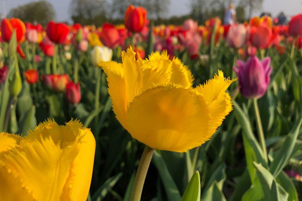 Crispa-Tulpe, gefranste-Tulpe