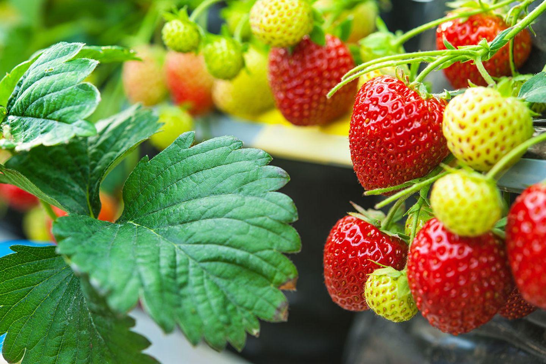 Erdbeere, Erdbeerpflanze