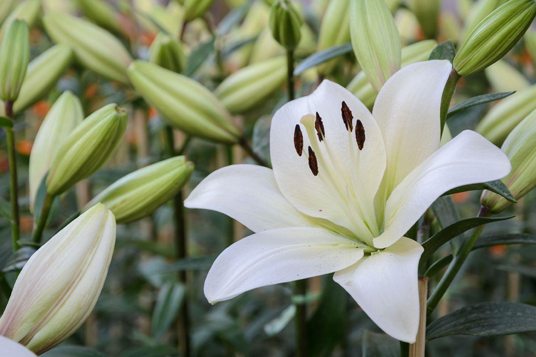 Lilie (Lilium spec.)