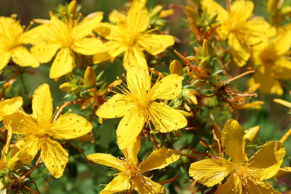Gelbe Blütenpracht des Johanniskrauts