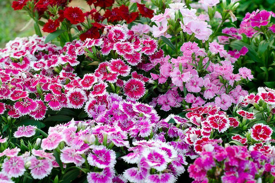 Nelken (Dianthus spec.)