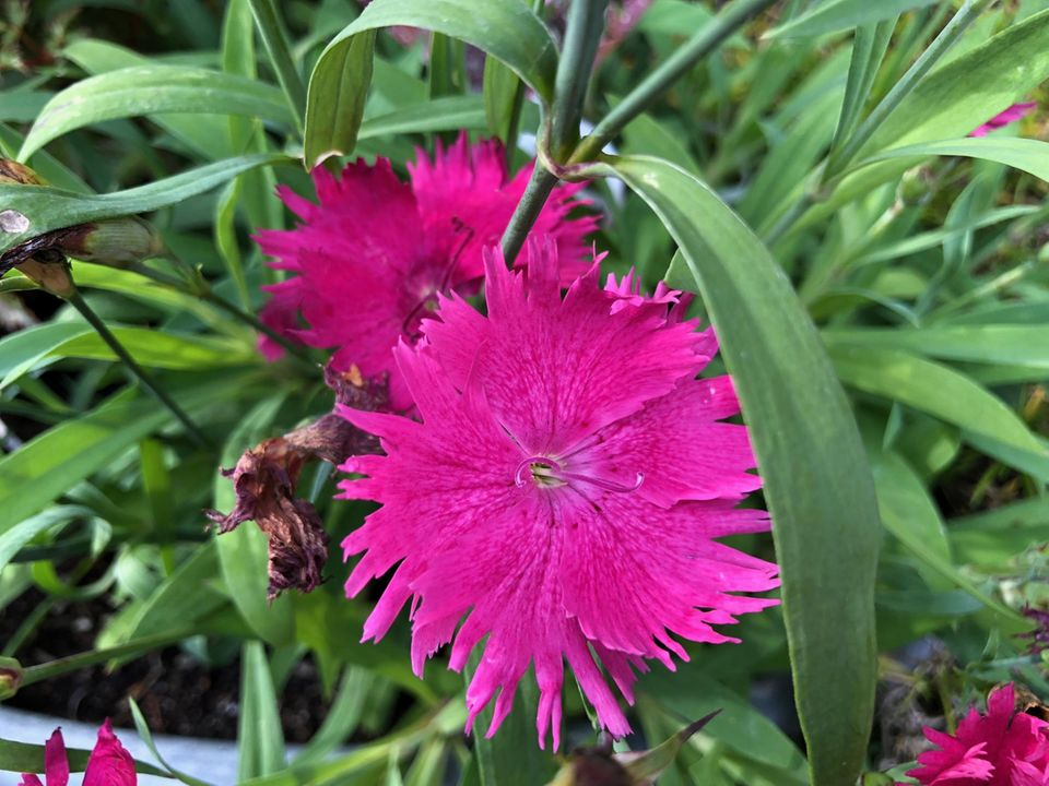 Dianthus 'Neon Star' Polsternelke