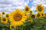 Sonnenblume (Helianthus annuus) auf dem Feld