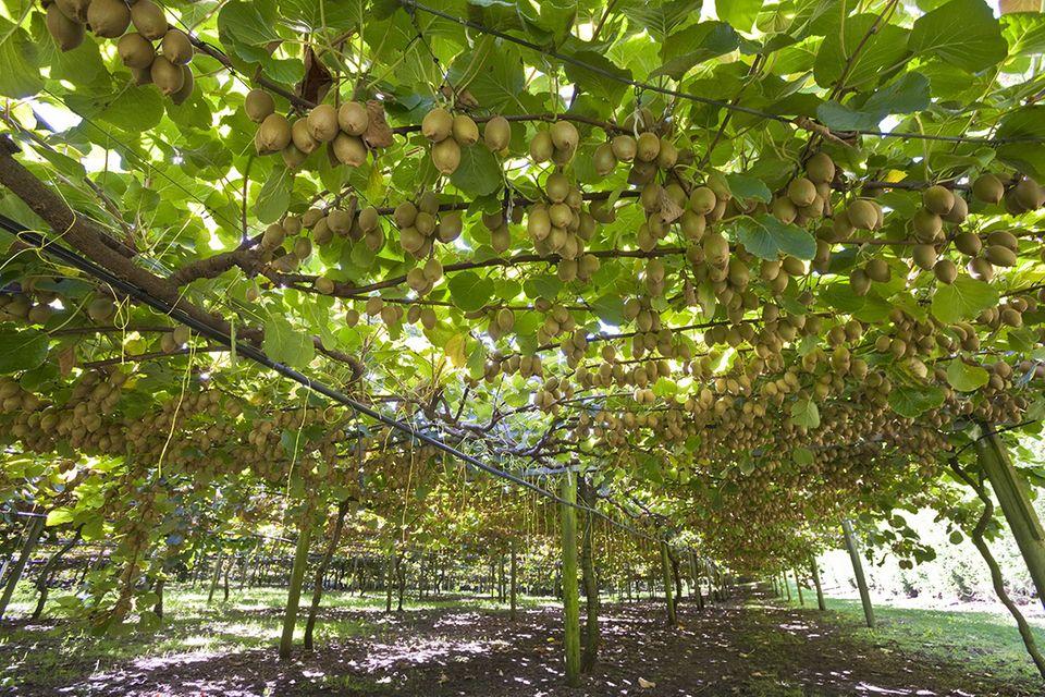 Kiwiplantage in Neuseeland