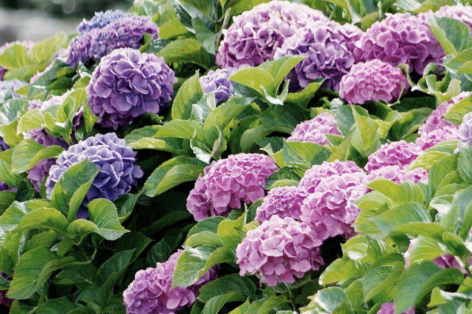 Hortensie lila rosa