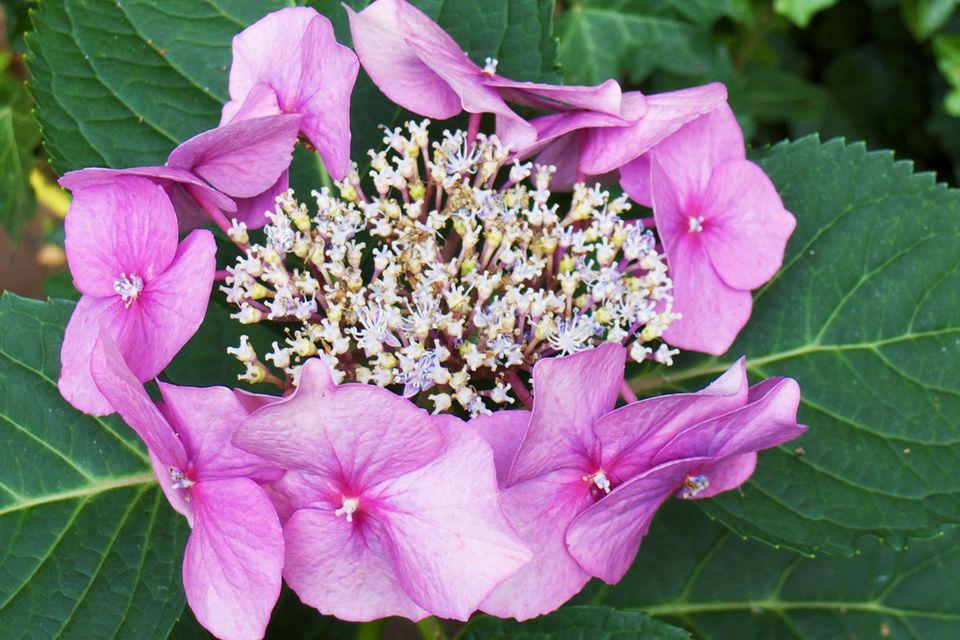 Tellerhortensie Hydrangea serrata