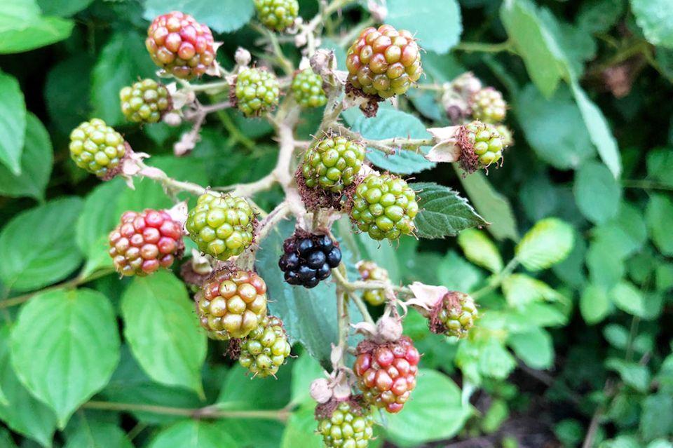 Echte Brombeere – Rubus fruticosus