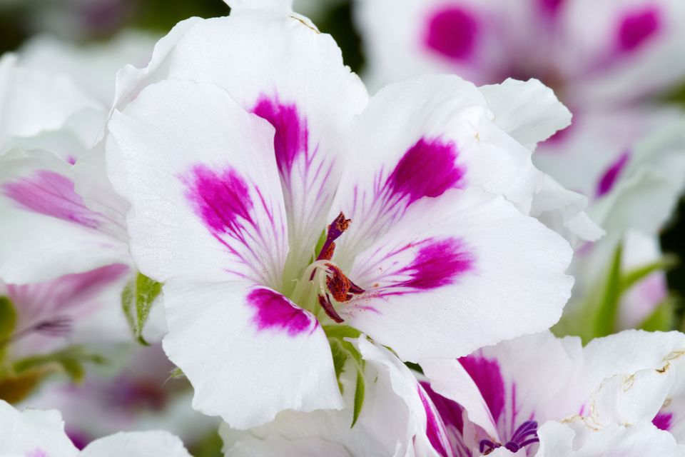 Geranie Pelargonium (Elegance Royalty White℗)