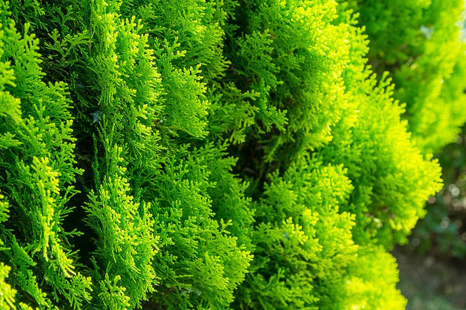 Lebensbaum oder Thuja (Thuja occidentalis)