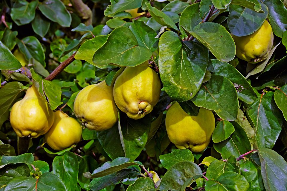 Quitte (Cydonia oblonga) Früchte