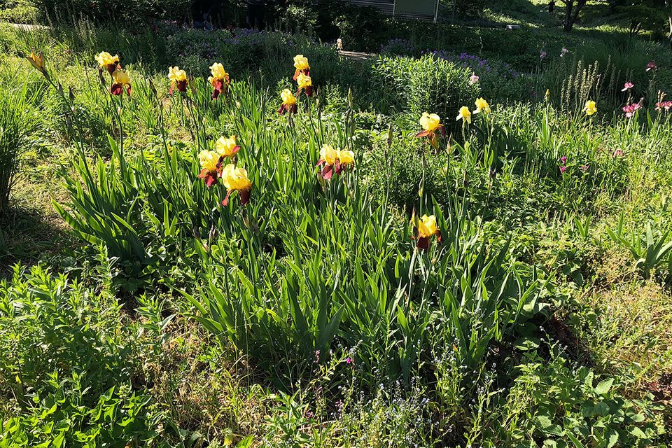 Hohe Schwertlilie (Iris germanica 'Andalou')