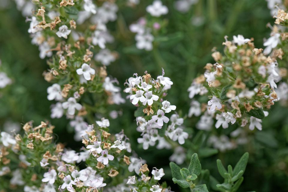 Thymian (Thymus vulgaris) weiß