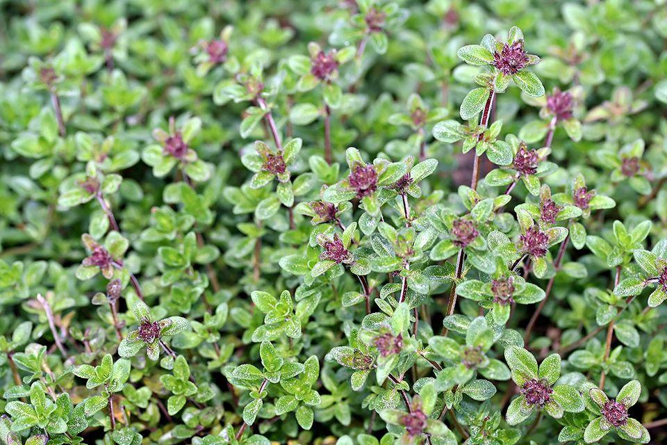 Thymian (Thymus vulgaris) Blüte rosa