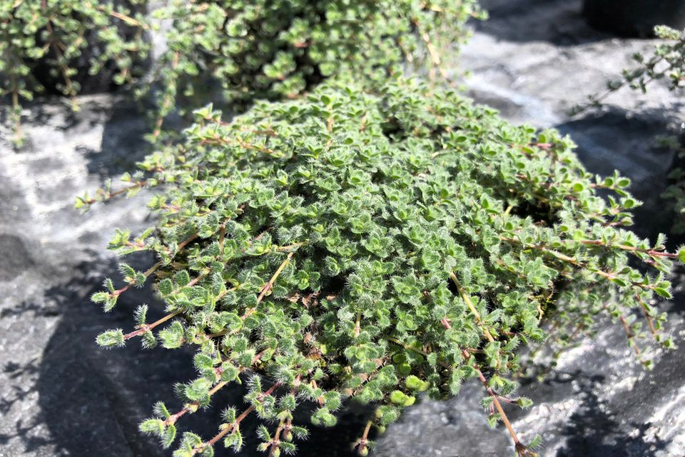 Filziger Thymian (Thymus praecox subsp. pseudolanuginosus)