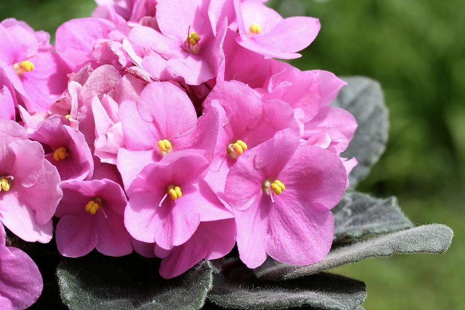 Usambaraveilchen (Saintpaulia ionantha) Blüte