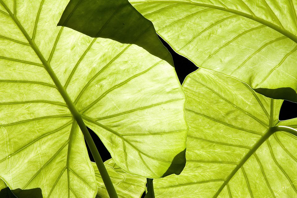 Xanthosoma (Xanthosoma sagittifolium) Tannia Blatt