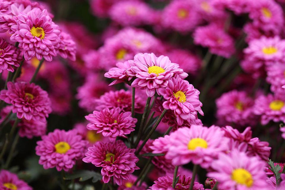 Chrysantheme (Chrysanthemum spec.)