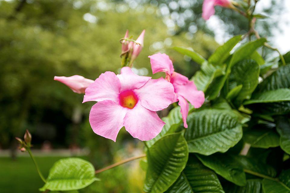 Dipladenia (Mandevilla) Blüte weiß rosa
