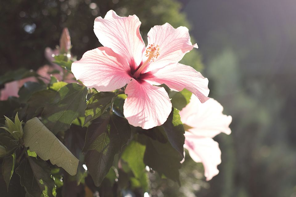 Hibiskus (Hibiscus) Blüte