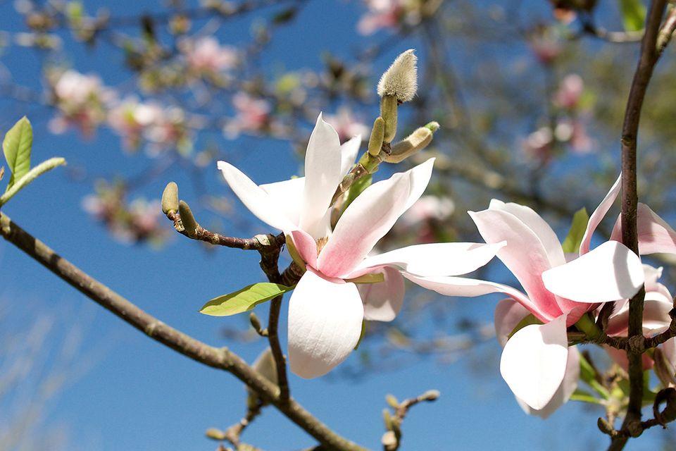 Sternmagnolie (Magnolia stellata) Blüte